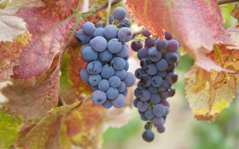 Autumn-Season-Fruits-Grapes-1920-X-1200-768x480 - 50+ Free Download Full HD Autumn Wallpapers [year]
