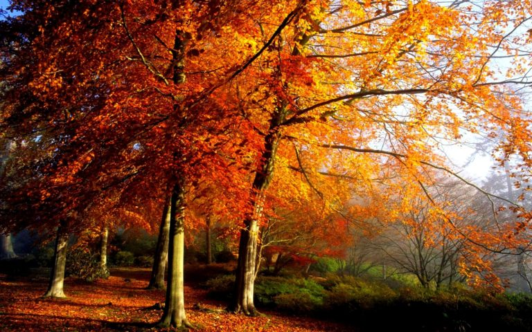Autumn-Trees-In-Morning-Wallpaper-1920x1200-768x480 - 50+ Free Download Full HD Autumn Wallpapers [year]