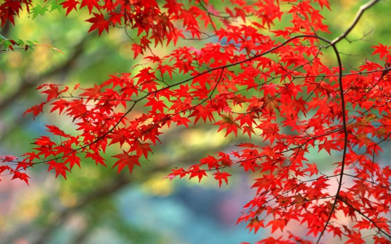 Red-Autumn-Branch-Wallpaper-1920x1200-768x480 - 50+ Free Download Full HD Autumn Wallpapers [year]